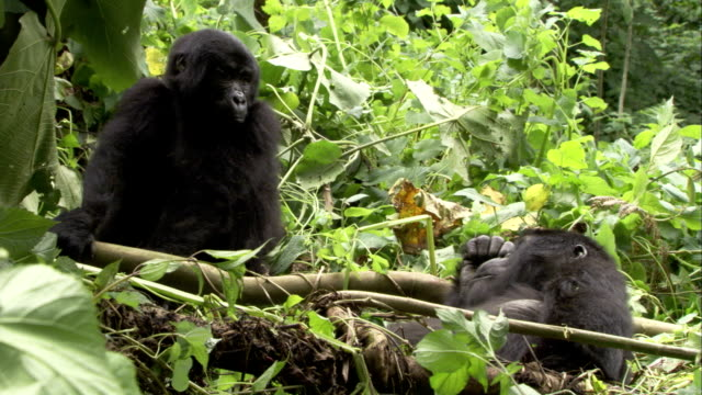two mountain gorillas lie on foliage in a clearing. available in hd. - 絶滅の恐れのある種点の映像素材/bロール