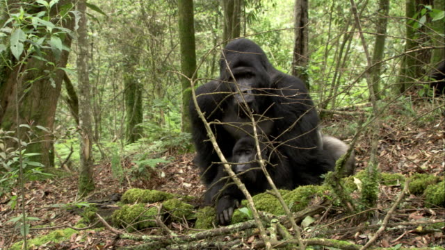 Two mountain gorillas mate in a forest. Available in HD.