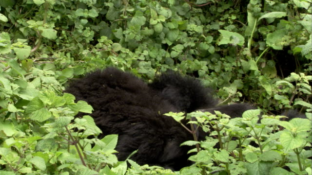 Two mountain gorillas rest amid leafy vegetation, one rolls away. Available in HD.