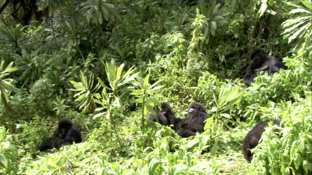 Two mountain gorillas roll through a clearing as they wrestle. Available in HD.