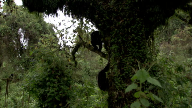 Two mountain gorillas use vines to climb down a tree. Available in HD.