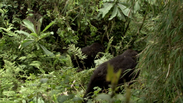 Two mountain gorillas walk through dense jungle vegetation. Available in HD.