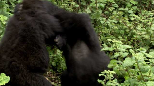 two mountain gorillas wrestle amid leafy vegetation. available in hd. - fight stock videos & royalty-free footage
