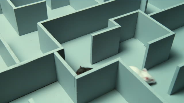 HA, MS, Two mouse in maze