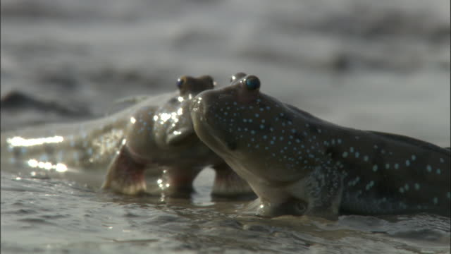 two mudskippers slide over a muddy riverbank. available in hd. - rückenflosse stock-videos und b-roll-filmmaterial