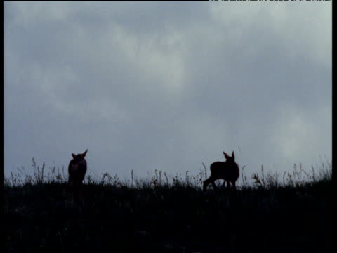 two mule deer fawns silhouetted against grey sky, usa - babyhood stock videos & royalty-free footage