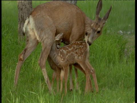 vídeos de stock, filmes e b-roll de two mule deer fawns suckle whilst their mother licks their bottoms, usa - vida de bebê