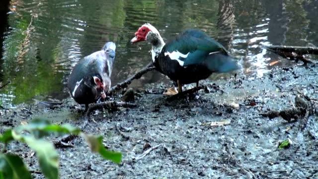 Dos de berbería Ducks Cairina moschata, lactancia junto al río