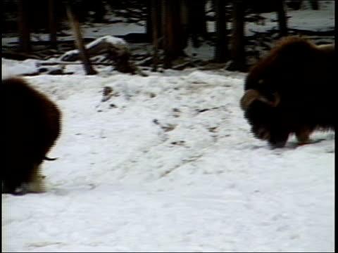 MS, PAN, Two Muskoxen fighting on snow, Fairbanks, Alaska, USA