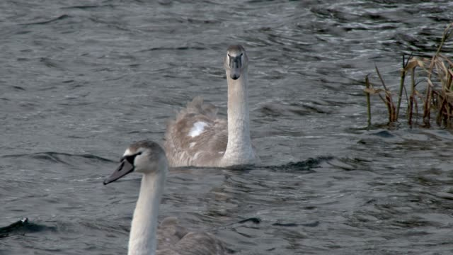 two mute swan cygnets swimming on a scottish loch in south west scotland - mute swan stock videos & royalty-free footage