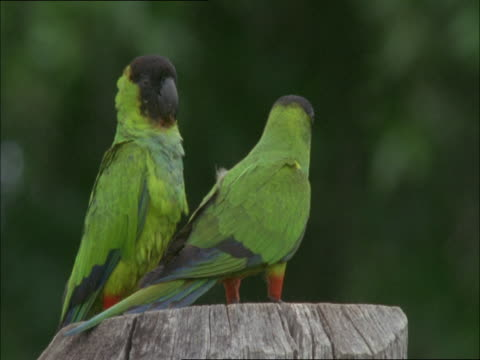 stockvideo's en b-roll-footage met two nanday conures perch on a tree stump. - plant attribute