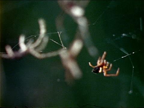 vídeos y material grabado en eventos de stock de two nephila spiders crawl across a web. - artrópodo