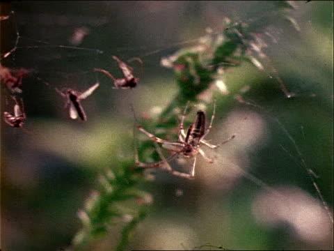 vídeos y material grabado en eventos de stock de two nephila spiders share a web strewn with insect husks. - artrópodo