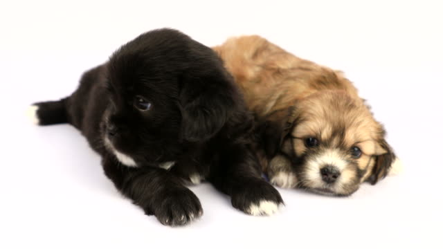 Two New Born Shih Tzu Puppies Isolated On White Background Stock