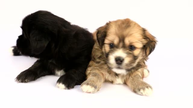 2 つの新しい生まれシーズー子犬ホワイト バック グラウンド上に分離 - 2匹点の映像素材/bロール