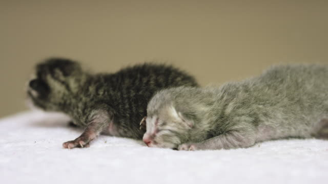 two newborn kittens - grey eyes stock videos & royalty-free footage
