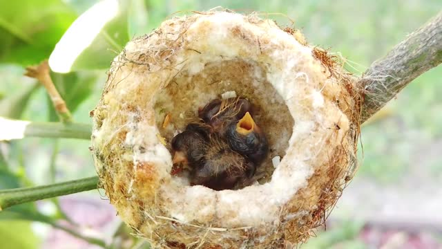 two newly hatched anna's hummingbird chicks are seen on march 1, 2021 in huntington beach, california. - bird's nest stock videos & royalty-free footage