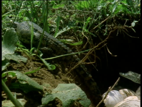 two nile crocodile hatchlings climb up banks out of nest - babyhood stock videos & royalty-free footage
