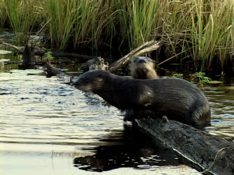 ms, two north american river otters (lontra canadensis) diving from log into stream, algonquin provincial park, ontario, canada - otter stock videos and b-roll footage
