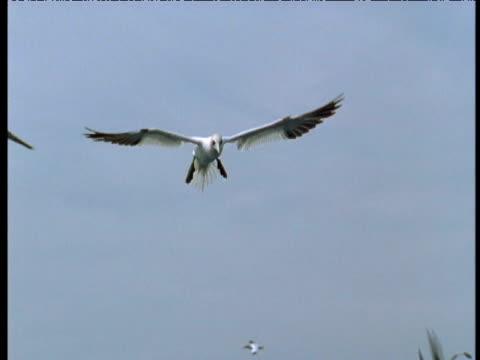 vídeos y material grabado en eventos de stock de two northern gannets plunge feeding, bass rock, uk - río firth of forth