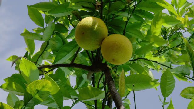 LOW ANGLE CLOSE UP two not yet ripe grapefruit on branches of tree