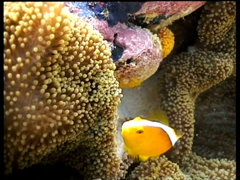 vidéos et rushes de two orange clownfish laying eggs on anemone, sipadan, malaysia - poisson clown à trois bandes
