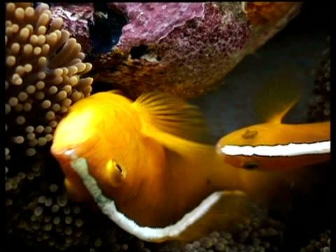 vídeos y material grabado en eventos de stock de two orange clownfish laying eggs on anemone, sipadan, malaysia - patrones de colores