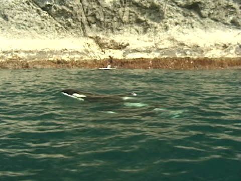 two orcas, killer whales, surfacing next to shore line