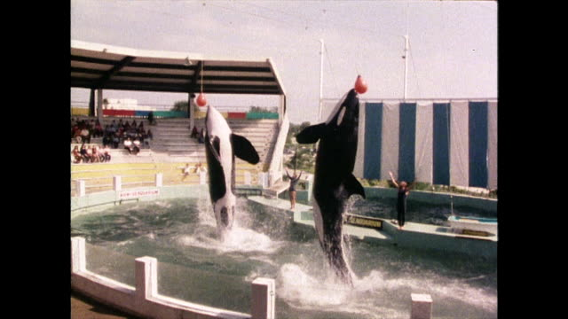 vídeos de stock e filmes b-roll de two orcas perform in a display at miami seaquarium; 1980 - estados da costa do golfo