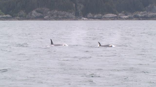 ws, two orcas (orcinus orca) surfacing in glacier bay, glacier bay national park and preserve, alaska, usa - coordination stock videos & royalty-free footage