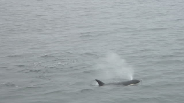 two orcas (killer whales) surfacing.