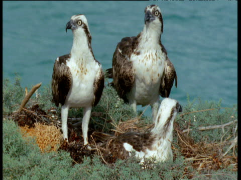 stockvideo's en b-roll-footage met two ospreys at nest are joined by a third (unusual as they are all thought to be males) - visarend