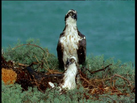 Two ospreys at nest look around