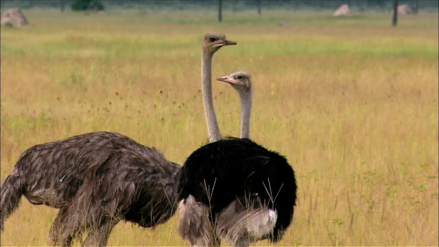 vídeos de stock, filmes e b-roll de two ostriches standing and looking around in savannah - olhando ao redor