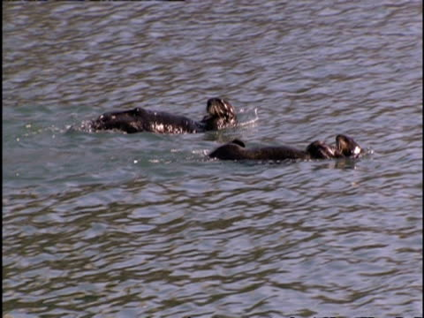 vídeos de stock, filmes e b-roll de ms two otters floating on their backs in the river, cleaning themselves - vadear