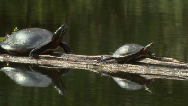 MS PAN Two Painted Turtles (Chrysemys picta) resting on log in pond, Madoc, Ontario, Canada