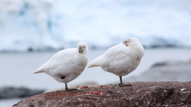 two pale-faced sheathbills standing on one leg - on one leg stock videos & royalty-free footage