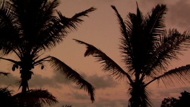 two palm trees against a tropical dusk sky. - fan palm tree stock videos & royalty-free footage
