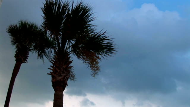 two palm trees blow in a tropical breeze. - fan palm tree stock videos & royalty-free footage