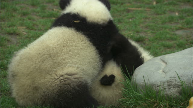 Two panda cubs wrestle.