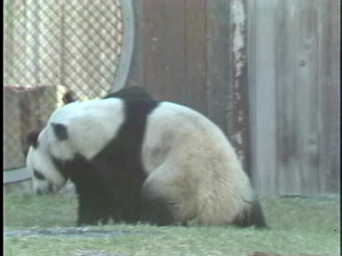 two pandas mate in a fenced enclosure - mating stock videos & royalty-free footage