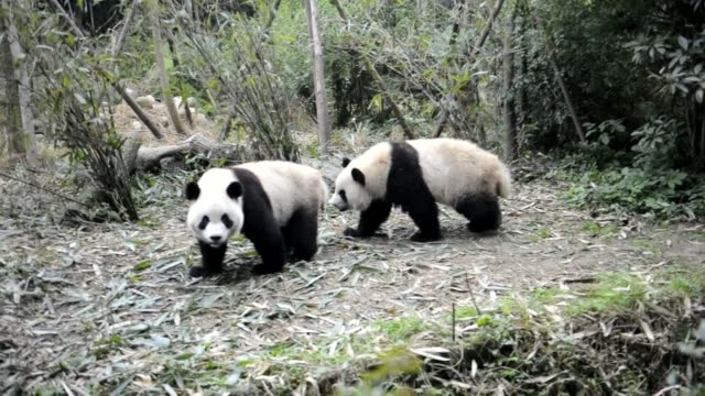 vídeos y material grabado en eventos de stock de two pandas whose identities are top secret are due to move to france as part of china's socalled 'panda diplomacy' a process taken seriously in a... - panda animal