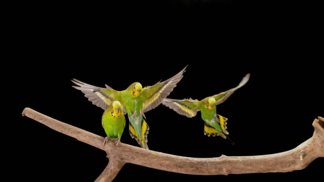 slo mo two parakeets landing on a branch next to the male budgerigar - budgerigar stock videos & royalty-free footage