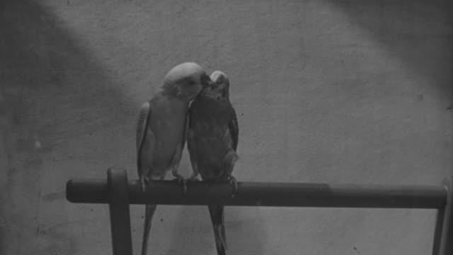 ms two parrot on stand - utfällda vingar bildbanksvideor och videomaterial från bakom kulisserna