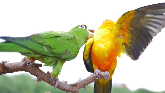 vidéos et rushes de deux des perroquets jouer et de taquiner les autres, au ralenti - mer des caraïbes