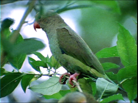 two parrots preen themselves on leafy branches. - 毛づくろい点の映像素材/bロール