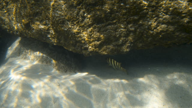 vídeos de stock e filmes b-roll de two patterned fish swimming under a rock formation - sargaço