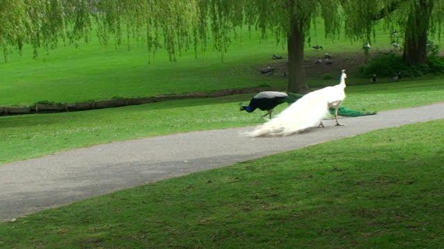 Two peacocks walking in park