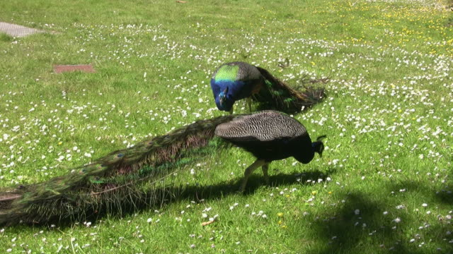 vidéos et rushes de ms pan two peacocks walking on grass, san francisco zoo, california, usa - animaux en captivité