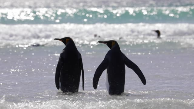two penguins wading into the surf - two animals stock videos & royalty-free footage